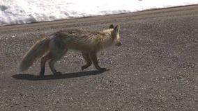 Одичалый Fox идя вниз с грязной улицы сток-видео