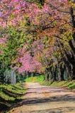 Одичалый himilayan вишневый цвет стоковые изображения