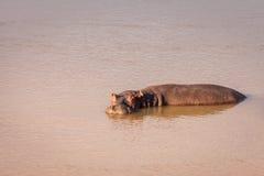 Одичалый Hippopotamus стоковое фото