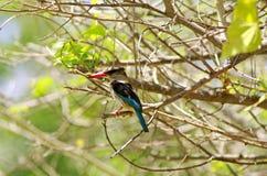 Одичалый kingfisher Стоковые Фото