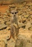 Одичалый suricata на предохранителе Стоковое Изображение