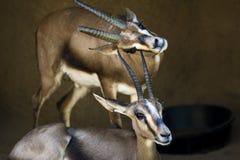 2 одичалых газеля Стоковые Фото