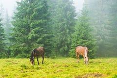2 одичалых идущих лошади пася Стоковые Изображения