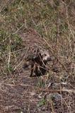 2 одичалых маленьких свиньи стоковые фото
