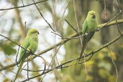 2 одичалых Роза-окружённых длиннохвостого попугая Стоковые Фото