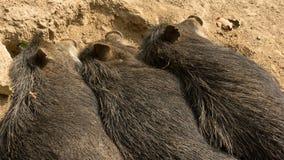 3 одичалых свиньи спать рядом друг с другом Стоковое фото RF