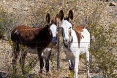 2 одичалых burros Стоковые Фотографии RF