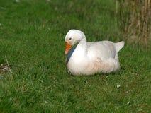 Одна белая гусыня на траве Стоковое Фото