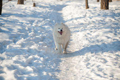 Одна белизна собаки Samoed Стоковые Фото