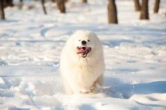 Одна белизна собаки Samoed Стоковое Фото