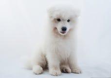 Одна белизна собаки Samoed Стоковая Фотография