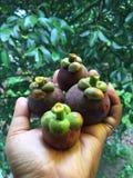 одна белизна стойки мангустана плодоовощ предпосылки Стоковые Фото