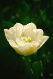 одна белизна тюльпана Стоковое Изображение RF