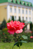 Одна большая роза пинка Стоковое Фото
