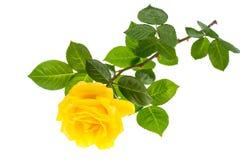 Одна ветвь зацветая розы желтого цвета изолированной на белой предпосылке Стоковые Изображения RF