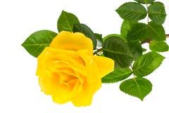 Одна ветвь зацветая розы желтого цвета изолированной на белой предпосылке Стоковые Фото