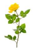 Одна ветвь зацветая розы желтого цвета изолированной на белой предпосылке Стоковое фото RF