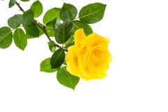 Одна ветвь зацветая розы желтого цвета изолированной на белой предпосылке Стоковые Фотографии RF
