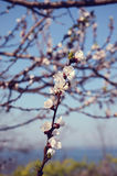 Одна ветвь с белыми цветками Стоковое Изображение RF