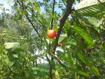 Одна вишня в дереве Стоковые Фотографии RF