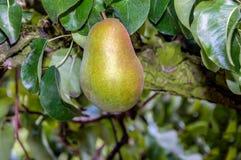 Одна вкусная груша зрея на дереве от конца Стоковые Изображения RF