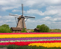 Одна голландская ветрянка над тюльпанами Стоковые Фотографии RF