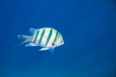 Одна голубая striped рыба Стоковые Фотографии RF