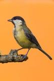 Одна женская большая птица синицы садить на насест на ветви Стоковые Изображения RF