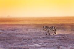 Одна зебра идя в поисках еды, Amboseli Стоковые Фото