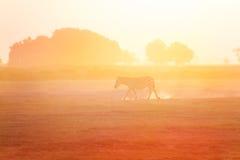 Одна зебра идя на заход солнца, Amboseli, Африка Стоковые Изображения RF