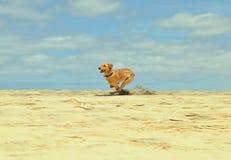 Одна играя собака Стоковые Изображения RF