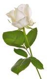 Одна изолированная белая роза Стоковые Фотографии RF