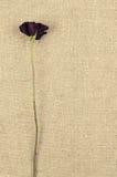 Одна длинная сухая красная роза на предпосылке linen холста Стоковое Изображение RF