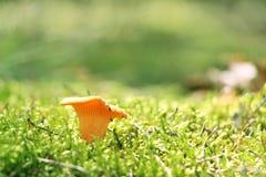 Одна лисичка гриба в мхе Стоковые Изображения