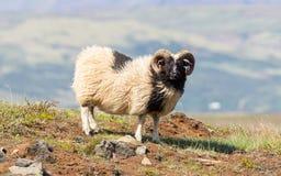 Одна исландская большая овца рожка Стоковые Изображения