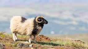 Одна исландская большая овца рожка Стоковое Изображение