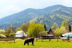 Одна корова пася на зеленой траве Стоковое Фото