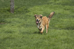 Одна молодая золотая собака в покое Стоковые Фотографии RF