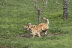 Одна молодая золотая собака Sprinting Стоковая Фотография RF