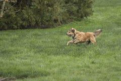Одна молодая золотая собака Sprinting Стоковая Фотография