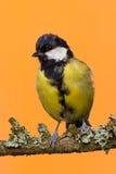 Одна молодая мужская птица больш-синицы садить на насест на ветви Стоковое Изображение