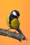 Одна мужская птица больш-синицы садить на насест на ветви Стоковая Фотография RF