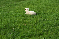 Одна овца на траве стоковое изображение