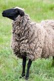 Одна овца пасет на зеленой траве Конец-вверх Стоковые Фотографии RF