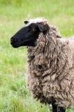 Одна овца пасет на зеленой траве Конец-вверх Стоковая Фотография