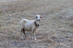Одна овца стоя на луге Стоковые Изображения