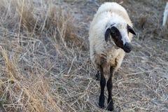Одна овца стоя на луге Стоковое фото RF