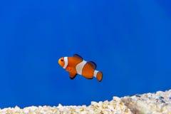 Одна оранжевая рыба на голубой предпосылке Стоковые Изображения RF