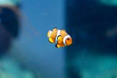 Одна оранжевая унылая рыба клоуна Стоковое Изображение RF