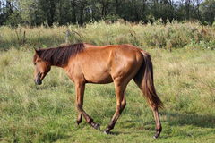 Одна лошадь пася в луге Стоковая Фотография RF